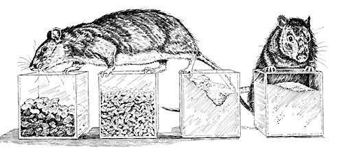 rats suggar